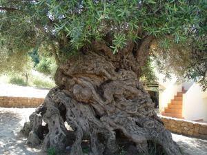 lois-olive-tree